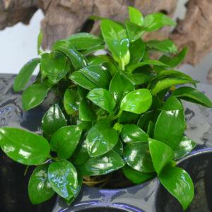 Rhizome & Rosette Plants